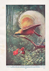 1910-Naturale-Storia-Stampa-Double-Sided-Uccello-Di-Paradise-Lucido-Starlings