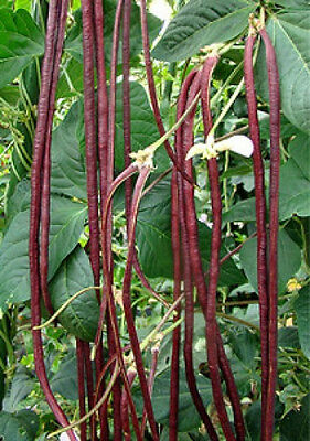 Vigna ungulculata or Red Noodle Bean 10 seeds