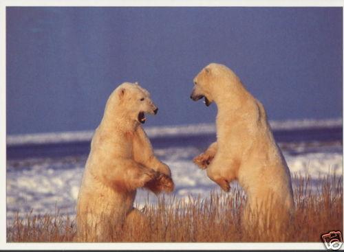 Ansichtskarte zwei rivalisierende Eisbären