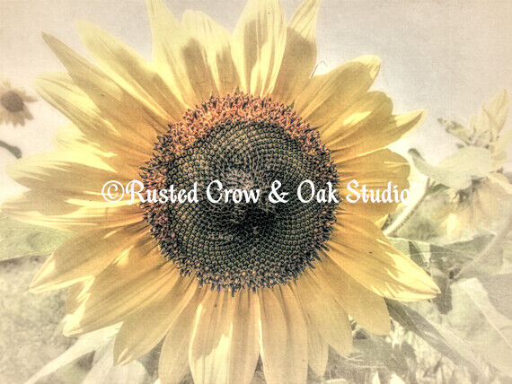 Soft Sunflower Flower Modern Country Home Decor Cottage Art Matted Picture A421a