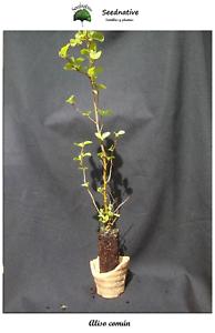 2 Años Aliso común Plantón forestal Planta de Alnus glutinosa