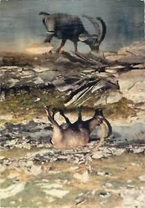 Animals-Postcard-alpine-goat-drinking-water