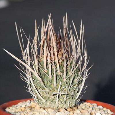 Stenocactus crispatus longispinus, exotic spines cactus cacti rare seed 20 SEEDS