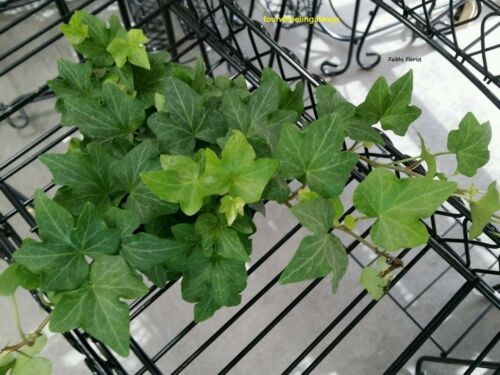 """plant in a 4/"""" pot. Free Shipping Fresh English Ivy Live Vining Healthy"""