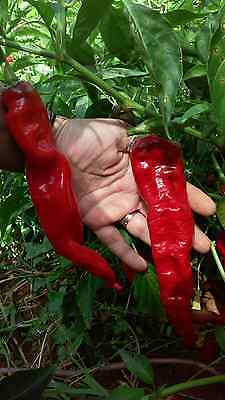 COMBINED S//H! Hot Cherry Bomb Pepper Seeds SEE OUR STORE VERY UNIQUE PEPPER