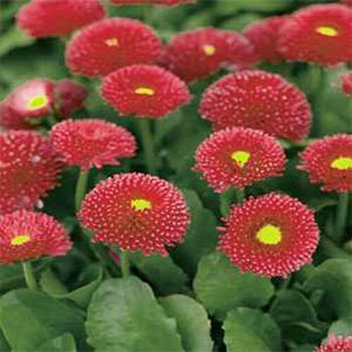 - Red Bellis Perennis Super Enorma 100 Seeds