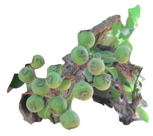 Ficus hispida, essbare Früchte, seltene Ficus Art, 20 Samen, 20 seeds