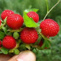 500 Pcs Wild Strawberry Seeds Fragaria Vesca Baron Solemacher Home Garden Plant