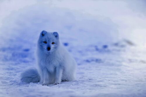 Fine Art Quality Animal Postcard Arctic Fox 12G