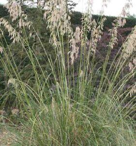Ampelodesmos Mauritanica /'Mauritanian Vine-Reed/' Grass Seeds