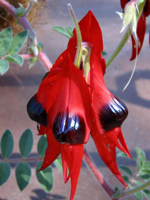 Sturt's Desert Pea 30 Seeds XX Hardy Annual Arid Living Trailing Plant Unusual