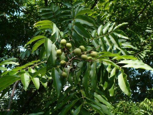 Free Shipping Florida Soapberry Soapnut Rare Tree Sapindus marginatus 20 Seeds