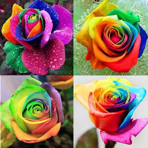 200pcs bulk rare rainbow rose flower seeds multi color for How to plant rainbow rose seeds