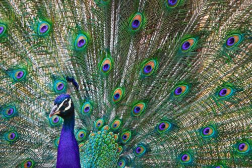 COLOURFUL PEACOCK BIRD CANVAS PICTURE POSTER PRINT WALL ART UNFRAMED #A457