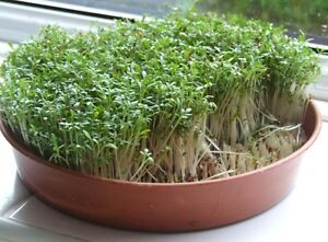 Details about Curled Cress 1000 seeds Babarea Vernapraecox * ez grow *  CombSH E14