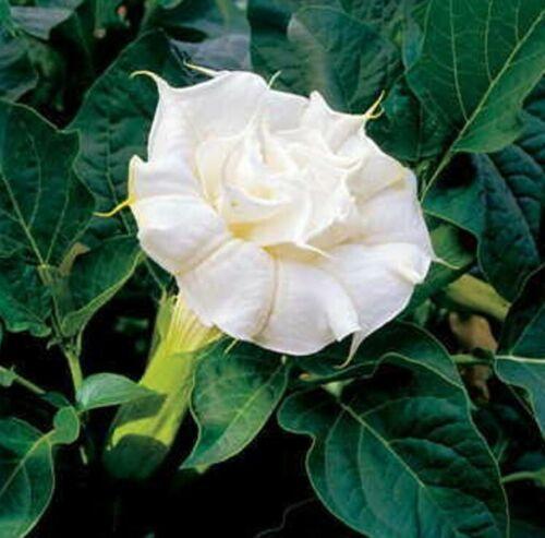 Datura Double White 10 Seeds Horn of Plenty Devil/'s Trumpet