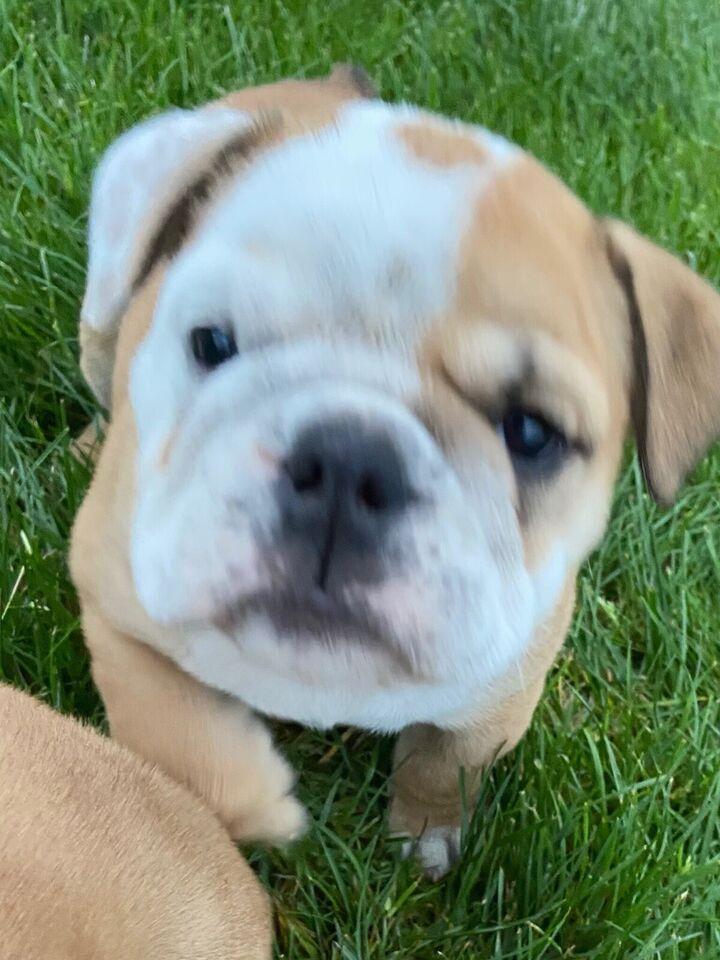 Engelsk bulldog , hvalpe, 8 uger