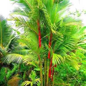 Das Bild Wird Geladen 100X Phyllostachys Pubescens Moso Bambus Samen Garten  Pflanzen