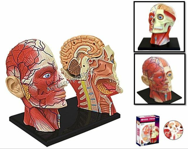 4d Vision Human Head Anatomy Model Brain System Science Medical Lab