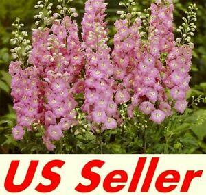 160  seeds Delphinium Cultorum DELPHINIUM PACIFIC MIX GIANT