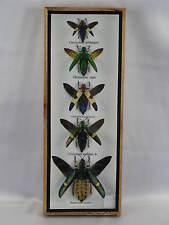5 echte exotische Insekten im Schaukasten aus Holz und Glas
