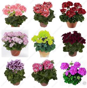 50 PCS Seeds Rare Geranium Bonsai Mixed Color Flowers Potted Pelargonium Garden