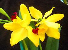 Potinaria Love Love 'YB', orchid plant