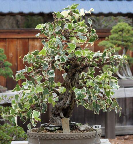 I Hiver-Les arbres verts! Dans le lierre est un beau petit I Lierre-Bonsai