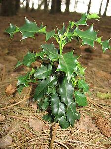 6 Ilex Stechpalme Pflanzen Bäumchen Winterhart Immergrün Pflanze   eBay