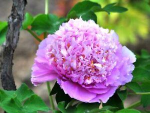 Peony Root Pink Rhizome Flower Garden Perennial Tuber Reblooms Garden