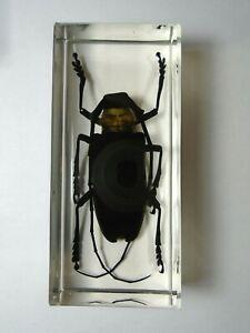 NEMOPHAS-BATOCEROIDES-Real-Cerambycidae-polyphaga-insect-resin-encapsulation