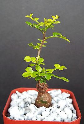 "Operculicarya decaryi exotic rare madagascar natural bonsai plant caudex  2"" pot"