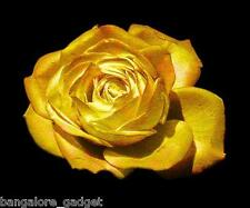 Rose Seed Midnight Golden Rose Seeds 10 Seeds Colours Free Shipping