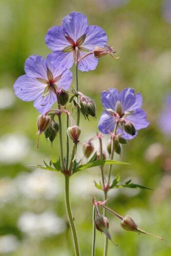 30 graines - Prairie Cranesbill-Geranium pratense britannique Fleur sauvage