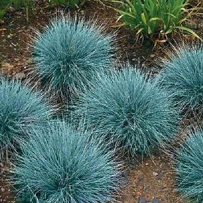 50+ BLUE FESCUE SEED /PERENNIAL / FESTUCA ORNAMENTAL GRASS / DROUGHT TOLERANT