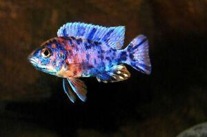 OB-Zebra-Mbuna-Cichlid-Live-Freshwater-Fish-Lake-Malawi
