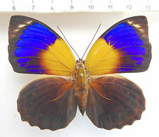 butterflies,Nymphalidae,Agrias,Prepona,A. phalcidon fournierae F Weibche, No 397