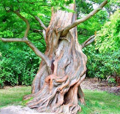 1000 Samen Metasequoia Glyptostroboides Urwelt-mammutbaum Metasequoie Weder Zu Hart Noch Zu Weich