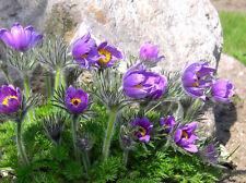 PASQUE FLOWER VIOLET - Pulsatilla vulgaris - 100 seeds - PERENNIAL FLOWER