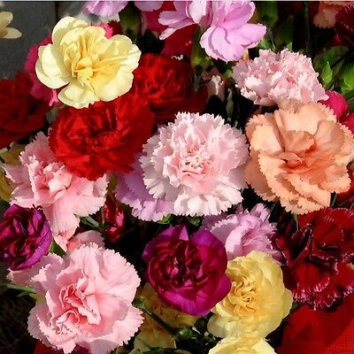 Flower Seed - DIANTHUS - Double Mixed Multicolour FlowOtheer - Pack of 50 Seeds.