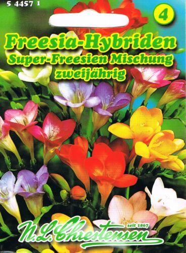 544571 Freesien Freesia Hybriden Mischung    Samen Saatgut