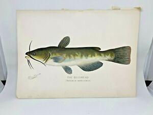 Original-Antique-Denton-Fish-Print-Bullhead-Catfish