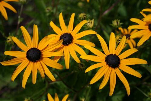 Sonnenhut Staffelpreise Rudbeckia Goldsturm Pflanze ab 1,62