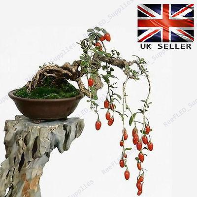 Rare Lycium Chinense Goji Berry Bonsai Tree 10 Viable Fresh