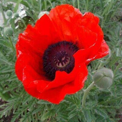 Oriental Poppy Seeds Papaver Orientale Perennial Flower