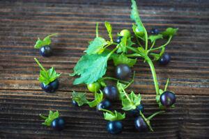 Humble Pour La Terrasse Et Le Balcon: Superbe Légumes La Noire Tomate!-afficher Le Titre D'origine