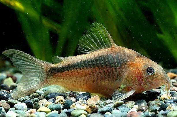 6 (sei) x corydoras zygatus (pesce gatto)