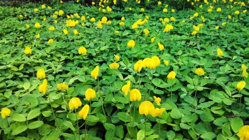50-250 Bulk PERENNIAL PEANUT Pinto Ground Cover Flower Arachis Pintoi Seeds