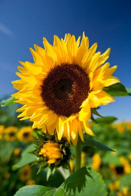 Free US Shipping Beach Sunflower   Helianthus debilis   20 Seeds