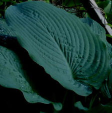 Blue Seer Hosta Seeds- HARDY! COMB. S/H! SEE MY STORE FOR MORE HOSTA!